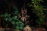 Poecilotheria fasciata by jodroboxes