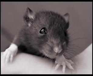 little rat by Num4n