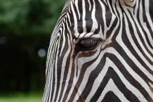 Zebra by Trynnie