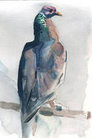 pigeon by claratessier