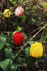 tulips by niitsvee