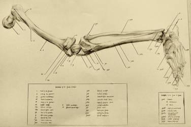 anatomical drawing 04 bones of the leg by niitsvee