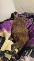 the kitten sleepies by lilfirewolfe