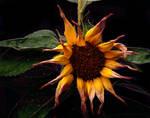 sunflower by skyechilde