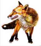 foxy by angel-poloo
