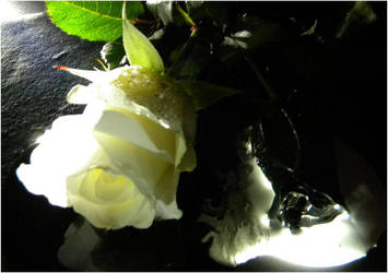 White and Black Rose (angle 2) by danielbastion