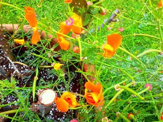 California Poppies by Bishounen-Fangirl