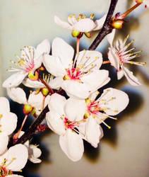 Cherry Blossom by Bishounen-Fangirl