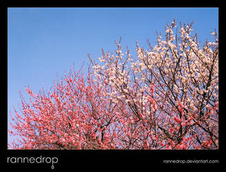 Plum Blossoms In The Sky 2 - Pink With White by rannedrop