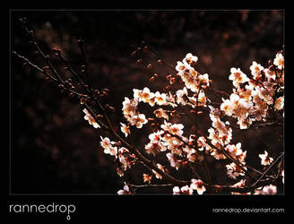 Evening Plum Blossoms by rannedrop