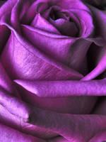 Purple Rose. 2 by whackeyjackie