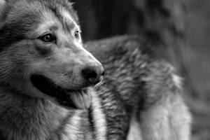 Wolfdog by kirstwils