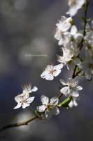spring IIII by hortensie