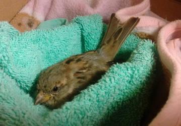 Rescued Sparrow (read description) by GluryTheUnown