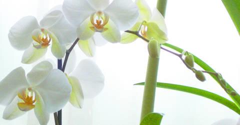 Golden Queen Orchids by corzorodia