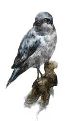 Northern Shrike by Laurlolz