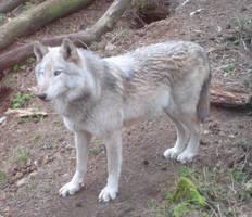 Mackenzie wolf by Sudrabvilks