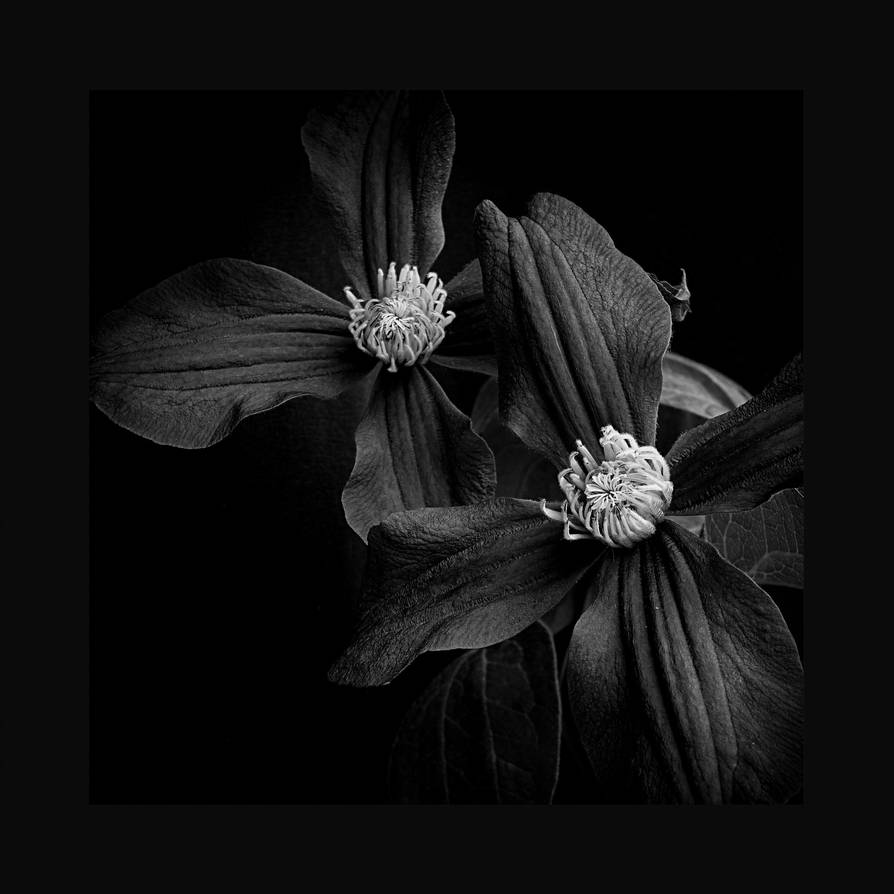 Clematis by jhps