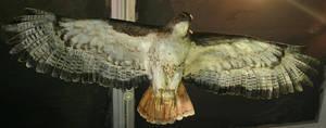 Flying Hawk by JusticeStock