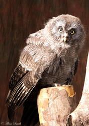 Grey Owl by newfish
