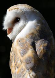 Barn Owl Portrait by newfish