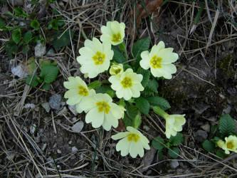 Wild Yellow Primula by ordine