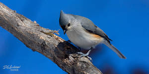 Tufted titmouse II by DGAnder