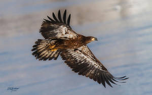 Young eagle flyby II by DGAnder