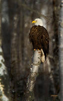 North Shore Eagle by DGAnder