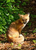 Backyard Fox by DGAnder
