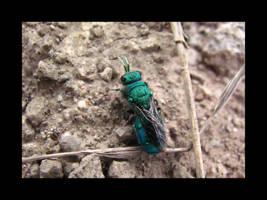 Cukoo Wasp by Swashbookler