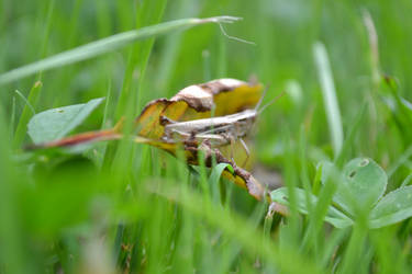 Grasshopper by justasm