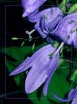 Blue Bells by zorm