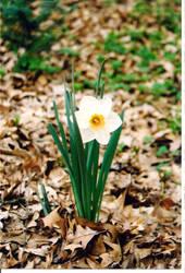 Daffodil by primussucks