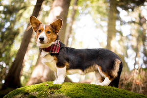 Corgi on moss by BlackPepperPhotos