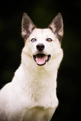 Laika by BlackPepperPhotos