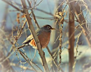The Robin Brings Spring by suezn