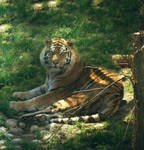 Tiger Zone by suezn