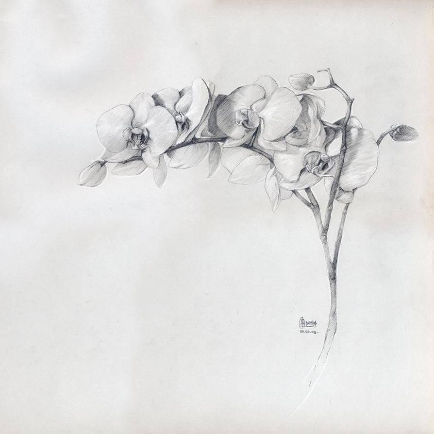 Phalaenopsis by MichaelDelpaen