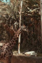 Giraffes (7 of 1) by Thepieholephotograph