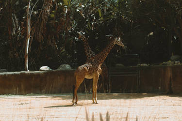 Giraffes (10 of 1) by Thepieholephotograph