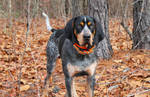 Bluetick Coonhound by MasterxZealot