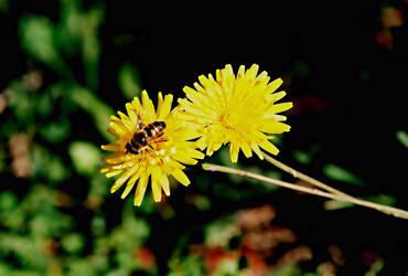 A Bee by BirdieG
