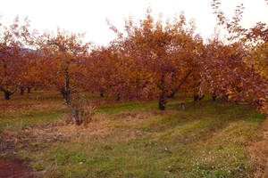 Autumn Orchard Stock 11 by SimplyBackgrounds