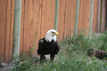 Bald Eagle Stock 02 - 2014 by SimplyBackgrounds