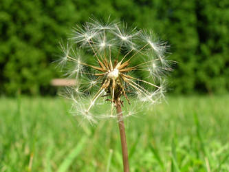 A Dandelion Gone to Seed by IheartArt4ever