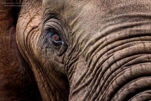 Elephant Portrait by RudiVanDenHeever