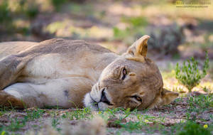 Lying down with a lioness by RudiVanDenHeever