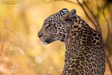 Kgabo Leopardess by RudiVanDenHeever
