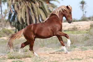 Barb stallion by lifaya